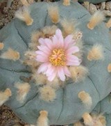 Lophophora williamsii-Peyote 6cm culture naturelle