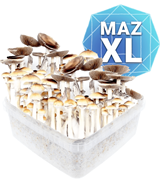 Mazatapec Kit de Culture - XL