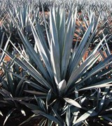 Graines Agave tequilana