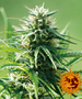 Cannabis_Seeds_Barneys_Sweet_Tooth_01.png Sweet Tooth